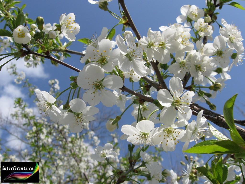 Imagini Si Poze Cu Copaci Infloriti Primavara Pentru