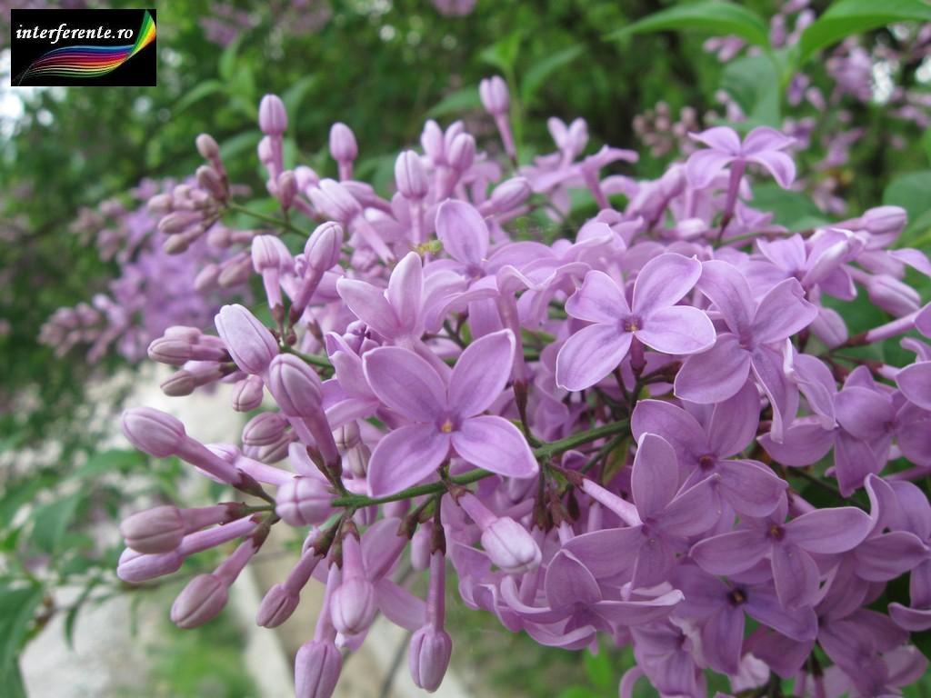 Imagini Si Poze Cu Flori De Liliac Pentru Wallpapers Avatare